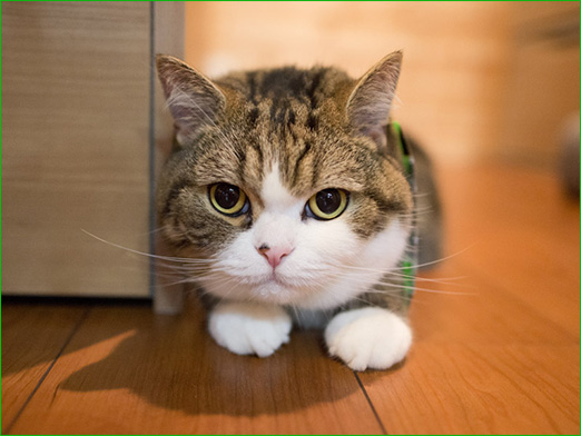 ... ネコ界最強!アイドル猫まる