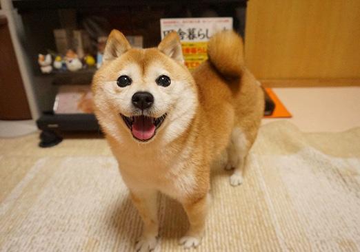 笑顔の作り方「近づくとやけどするわよ♥ 柴犬こむぎの小悪魔